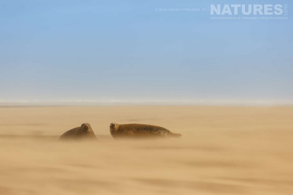 A pair of the seals rest on the sand whilst a storm rages around them photographed on the Seals of Lincolnshire Photography Holiday run by NaturesLens