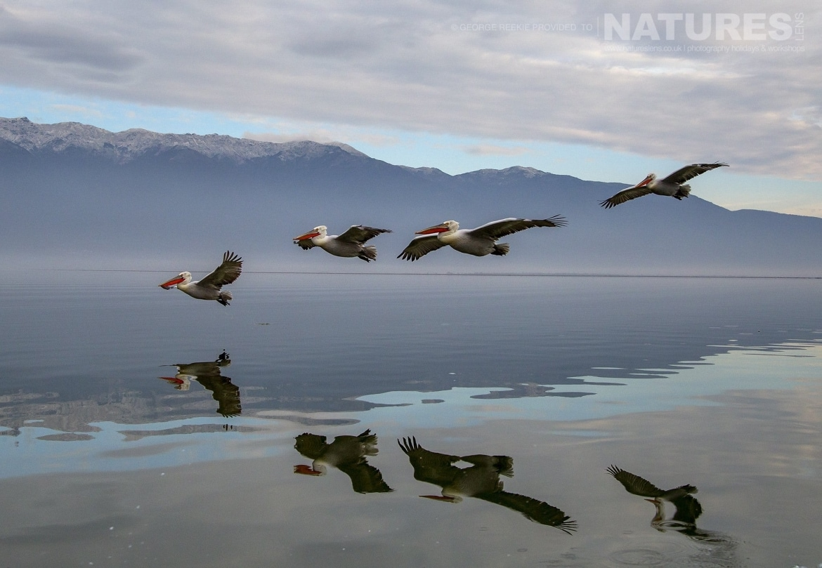 A quad of in flight Dalmatian Pelicans fly over Lake Kerkini photographed during one of the NaturesLens Dalmatian Pelican Photography Holidays