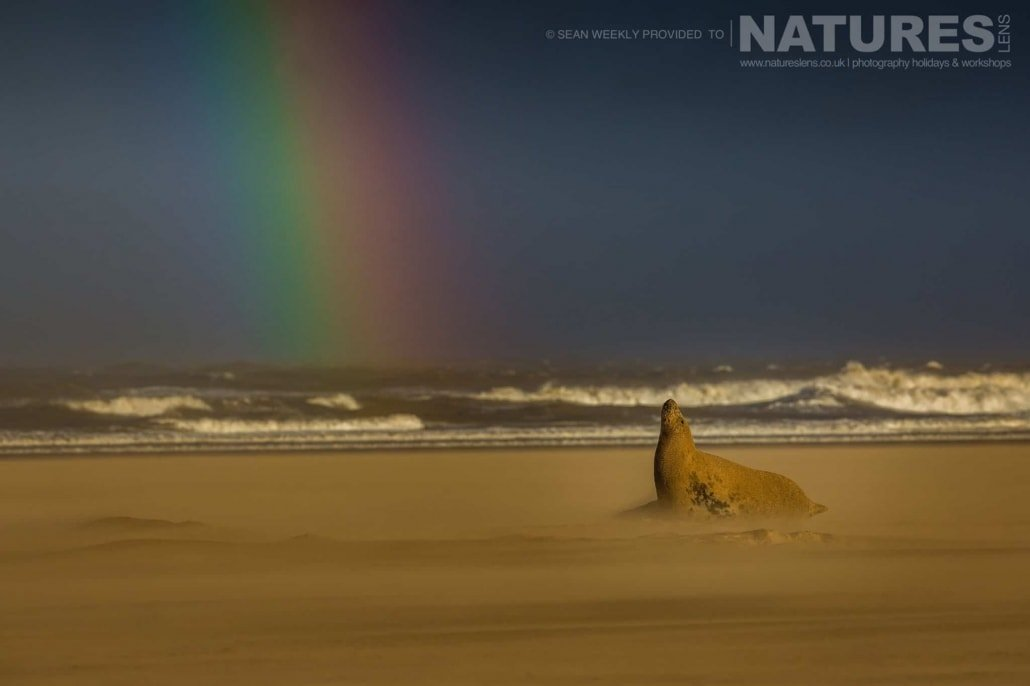 A sand storm rages around him, one of the seals with a rainbow caused by the sotrmy conditions photographed on the Seals of Lincolnshire Photography Holiday run by NaturesLens