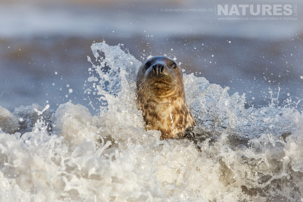 A seal buffetted on all sides by the waves photographed on the NaturesLens Seals of Lincolnshire Photography Holiday