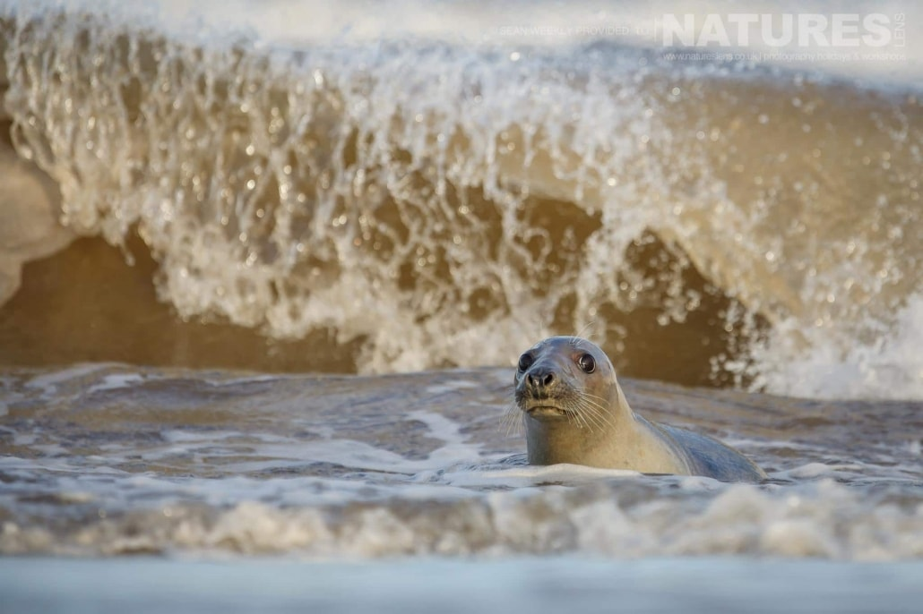 A seal checks out the location of the photographer from the safety of the surf photographed on the NaturesLens Seals of Lincolnshire Photography Holiday