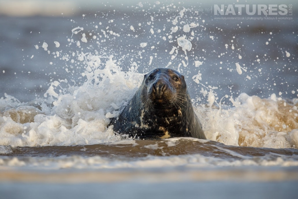 A seal splashed by waves in the surf of a beach on the Lincolnshire coastline photographed on the NaturesLens Seals of Lincolnshire Photography Holiday