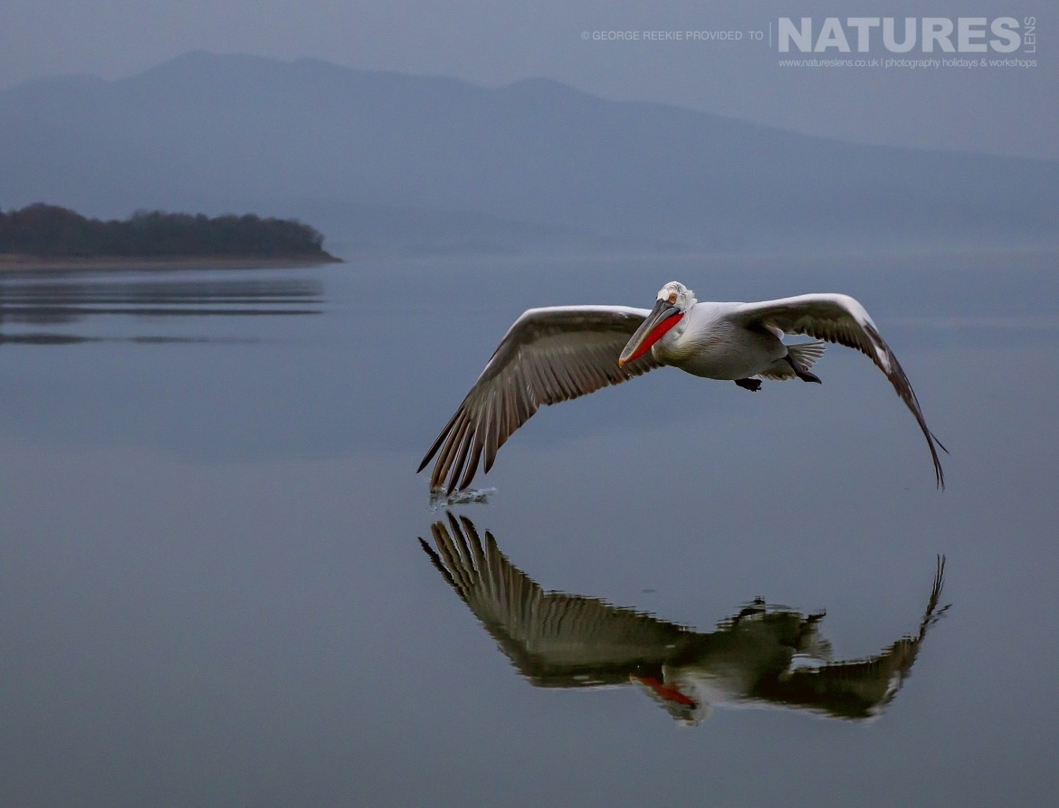 A solitary Dalmatian Pelican flies over Lake Kerkini photographed during one of the NaturesLens Dalmatian Pelican Photography Holidays