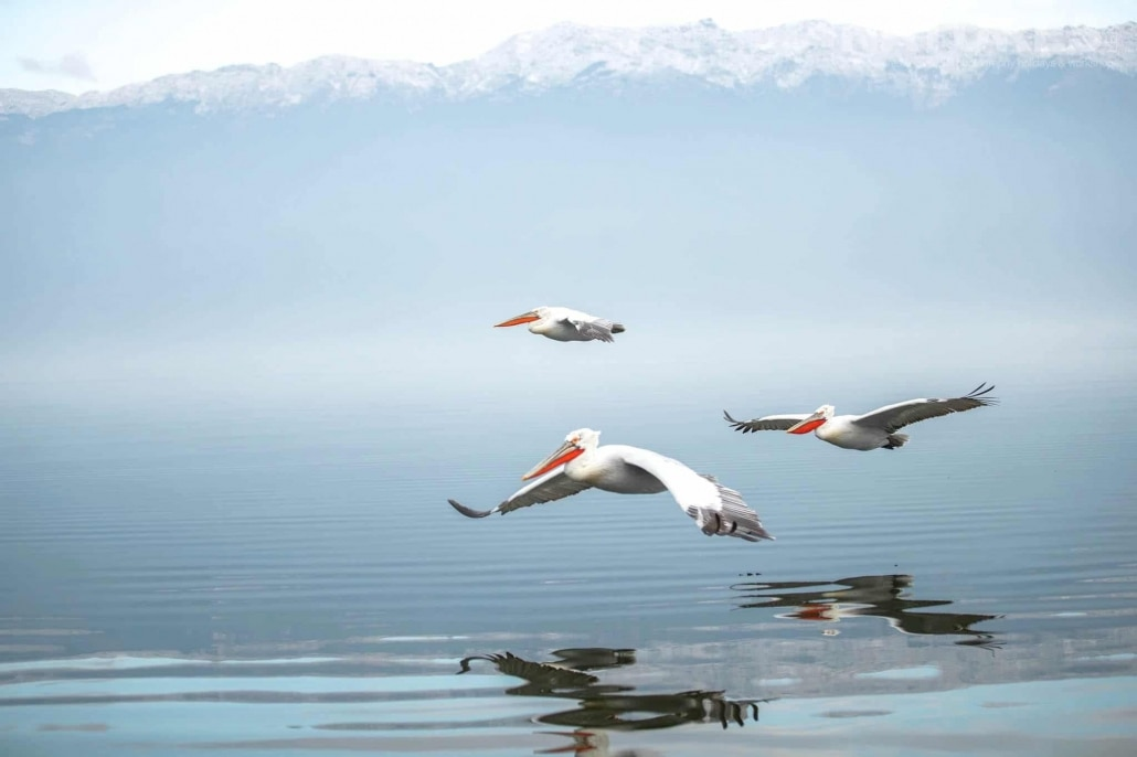 A trio of in flight Dalmatian Pelicans fly over Lake Kerkini photographed during one of the NaturesLens Photography Holidays for photography of the Pelicans of Lake Kerkini