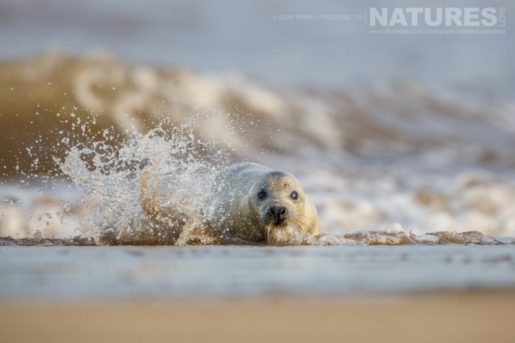A very young seal splashed by waves in the surf of a beach on the Lincolnshire coastline photographed on the NaturesLens Seals of Lincolnshire Photography Holiday