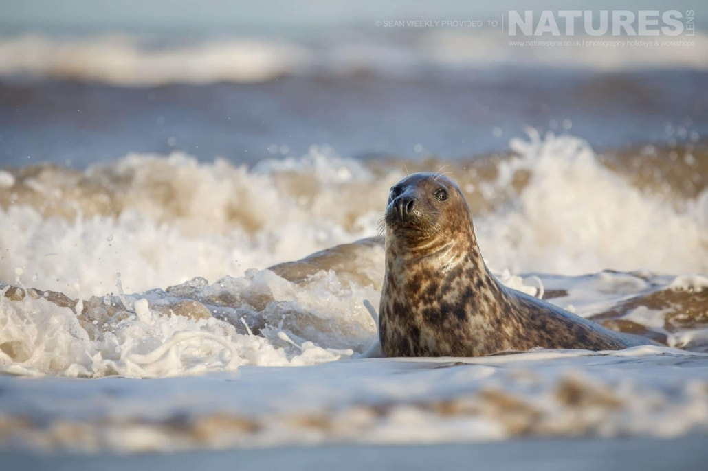 A young seal splashed by waves in the surf of a beach on the Lincolnshire coastline photographed on the NaturesLens Seals of Lincolnshire Photography Holiday