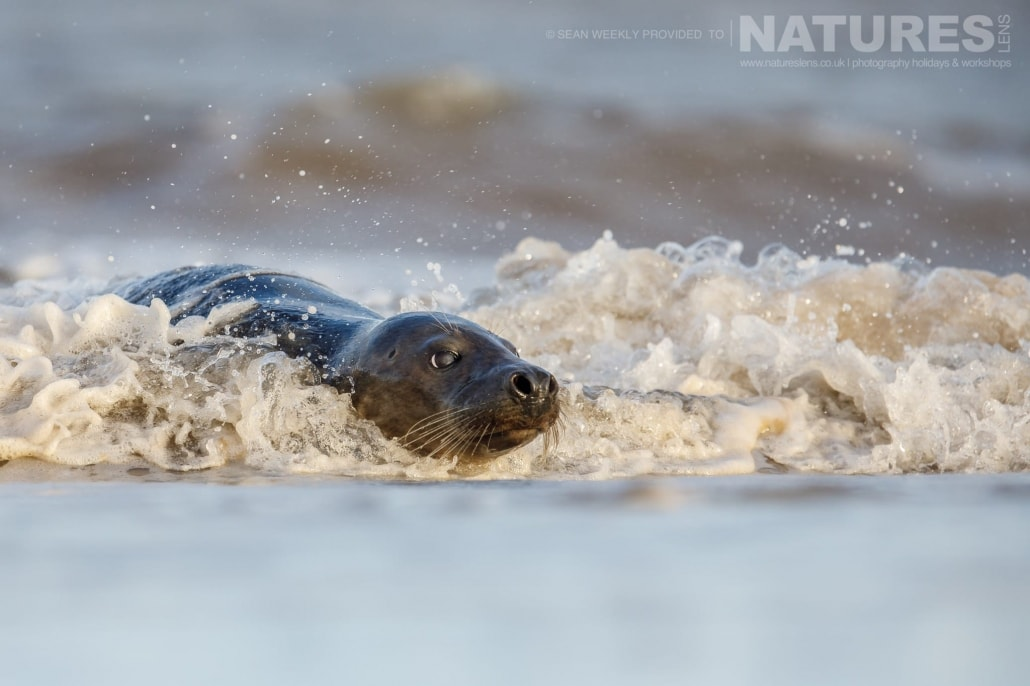A young seal surfs in to the beach photographed on the NaturesLens Seals of Lincolnshire Photography Holiday
