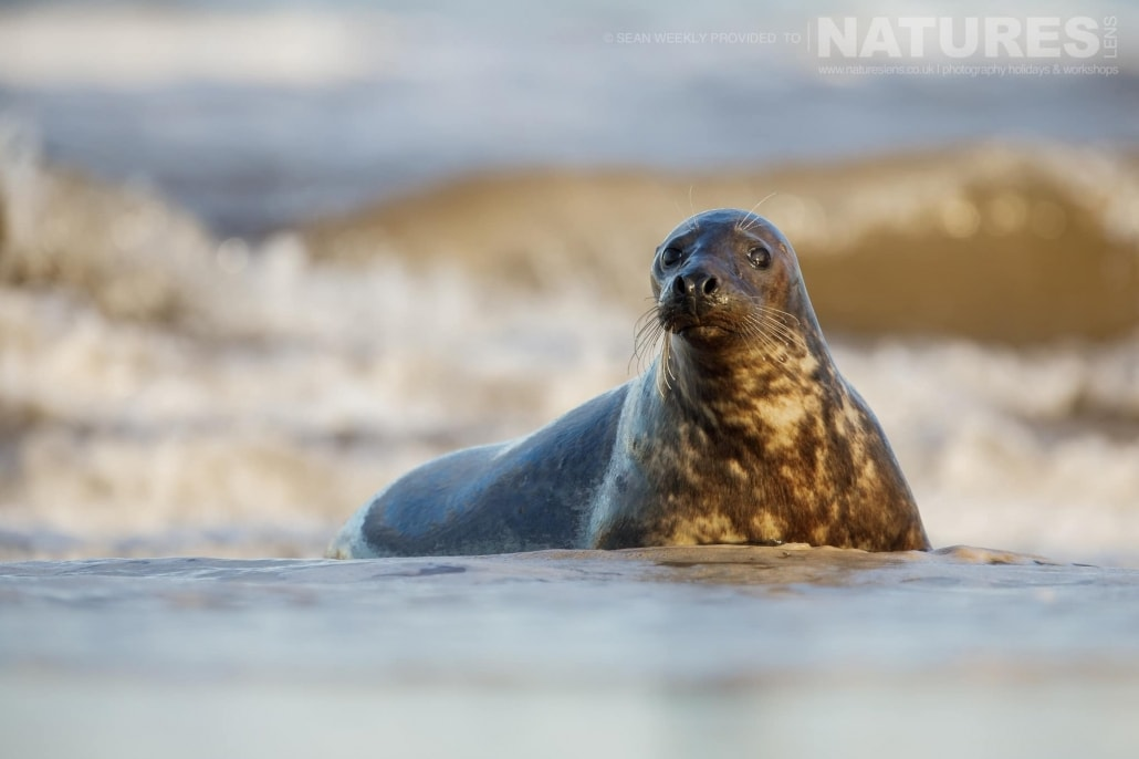 A young seal watches the photographer from the safety of the shoreline photographed on the NaturesLens Seals of Lincolnshire Photography Holiday