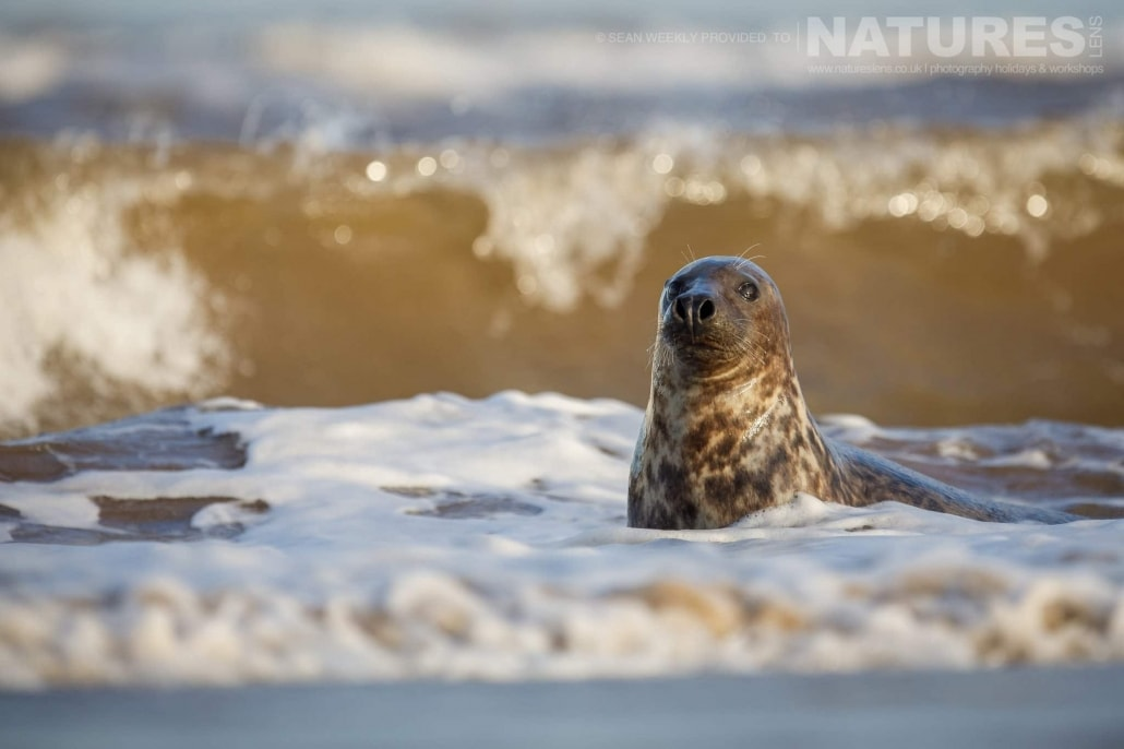A young seal watches the photographer from the safety of the surf of a beach photographed on the NaturesLens Seals of Lincolnshire Photography Holiday