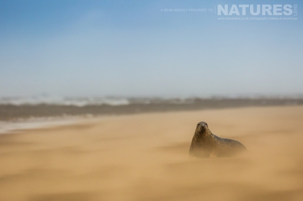 Alert and looking at the photographers whilst a sand storm rages around him, one of the seals photographed on the Seals of Lincolnshire Photography Holiday run by NaturesLens