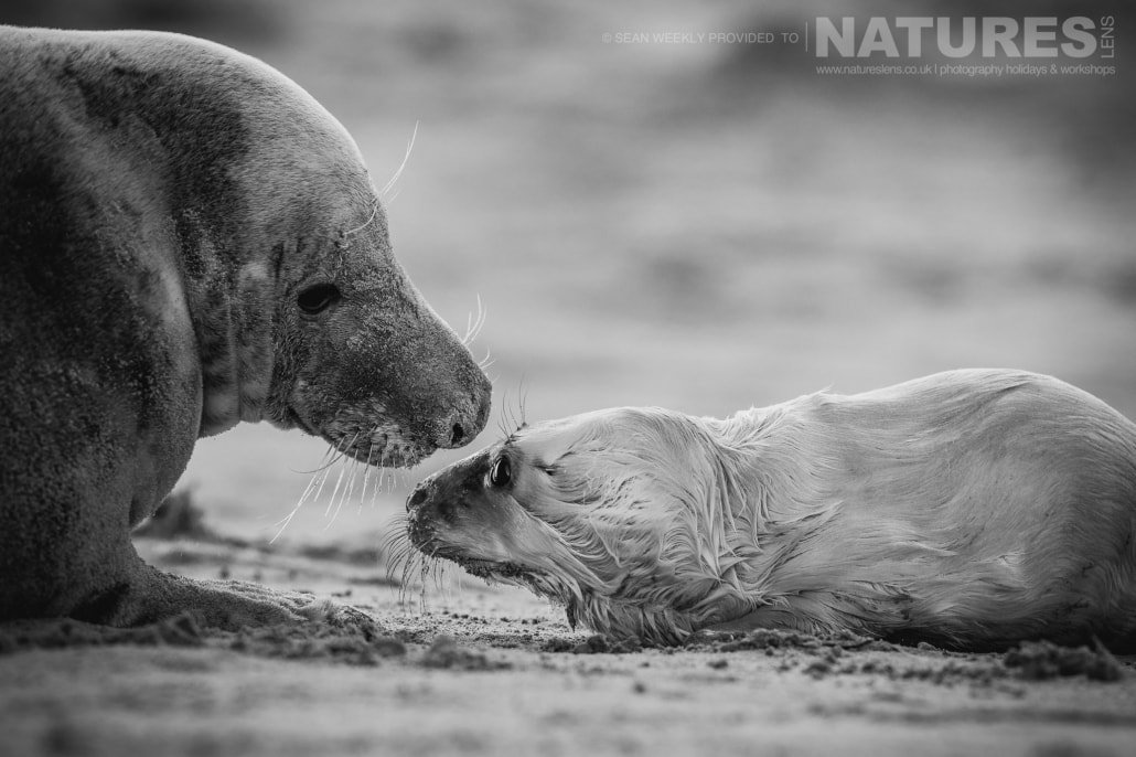 An intimate moment between a mother and a new born seal pup on the beaches of Lincolnshire photographed on the Seals of Lincolnshire Photography Holiday run by NaturesLens