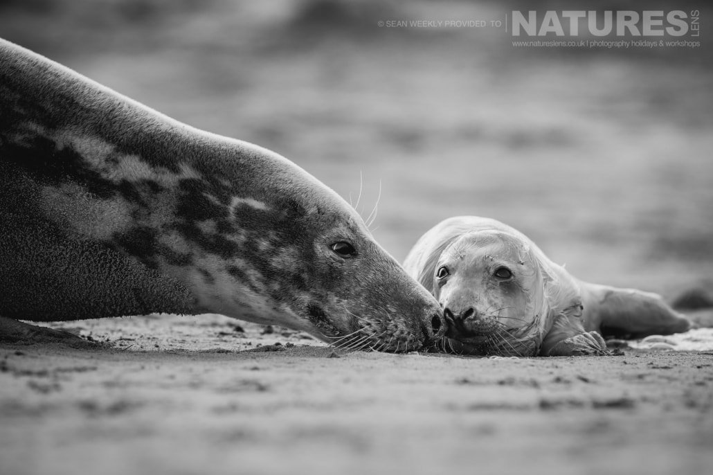 An intimate moment between a mother and her new born seal pup on the beaches of Lincolnshire photographed on the Seals of Lincolnshire Photography Holiday run by NaturesLens