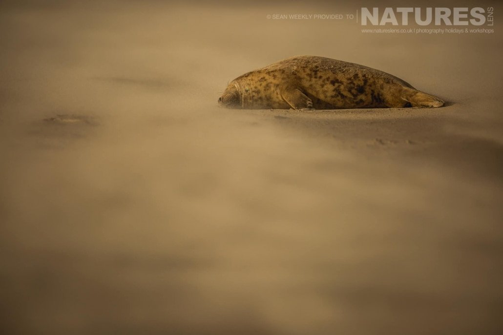 Asleep on the sand whilst a sand storm rages around him, one of the seals of the Lincolnshire beaches photographed on the Seals of Lincolnshire Photography Holiday run by NaturesLens
