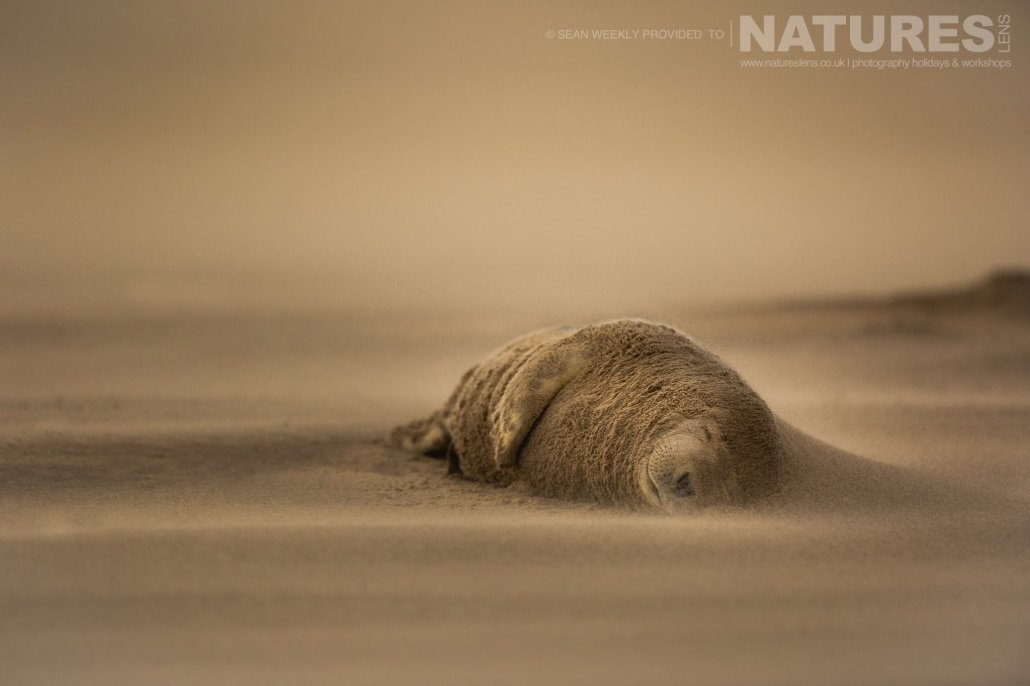 Asleep whilst a sand storm rages around him, one of the seals has sand building up against his head photographed on the Seals of Lincolnshire Photography Holiday run by NaturesLens