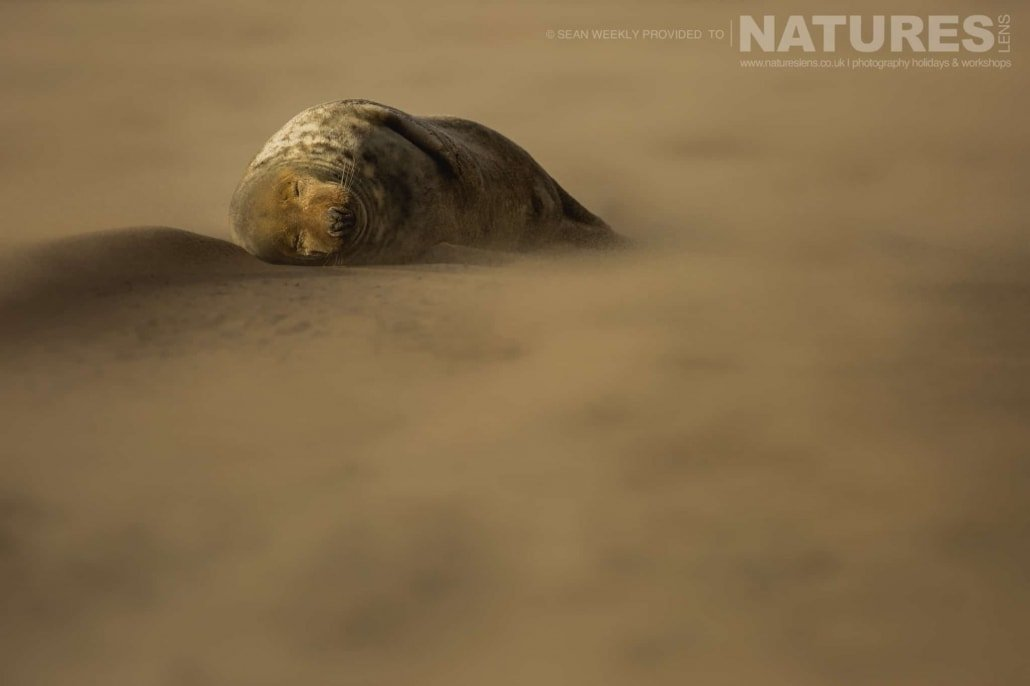 Asleep whilst a sand storm rages around him, one of the seals of the Lincolnshire beaches photographed on the Seals of Lincolnshire Photography Holiday run by NaturesLens