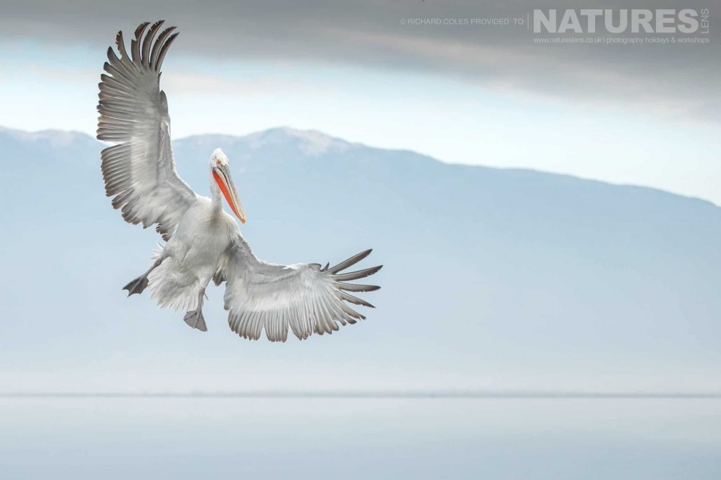 Brakes on, one of the Dalmatian Pelicans prepares to land on the waters of Lake Kerkini photographed during one of the NaturesLens Photography Holidays for photography of the Pelicans of Lake Kerkini