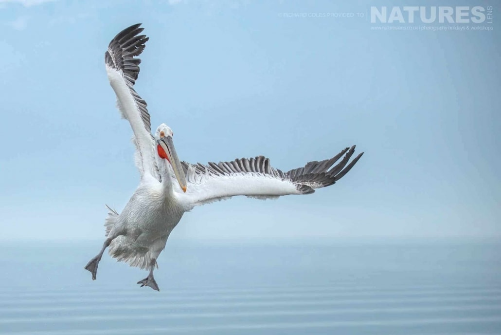 Braking hard, one of the Dalmatian Pelicans prepares to land on the waters of Lake Kerkini photographed during one of the NaturesLens Photography Holidays for photography of the Pelicans of Lake Kerkini