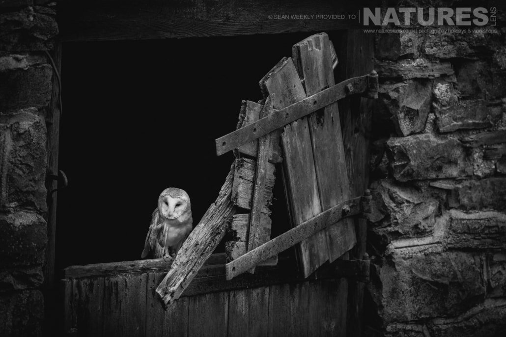 Framed in a broken doorway, the barn owl photographed during a NaturesLens Birds of Prey Workshop in Mid Wales