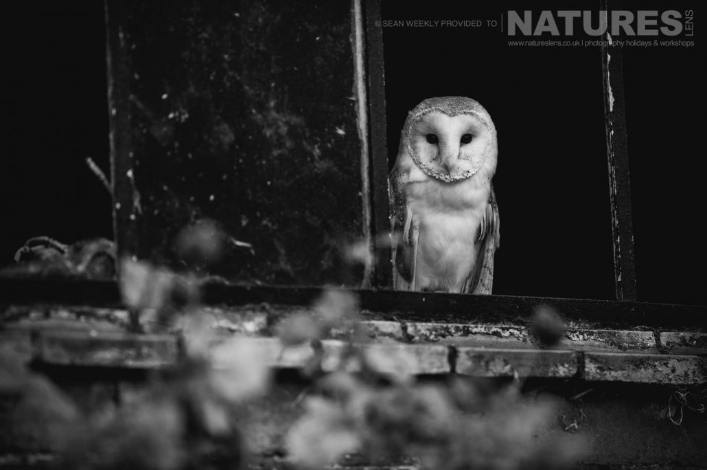 Framed in a broken window, the beautiful barn owl photographed during a NaturesLens Birds of Prey Workshop in Mid Wales