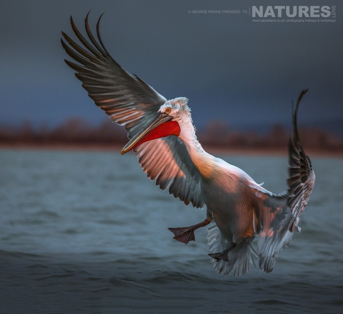 Illuminated by the rising sun, one of the Dalmatian Pelicans attempts to land on the waters of Lake Kerkini photographed during one of the NaturesLens Dalmatian Pelican Photography Holidays