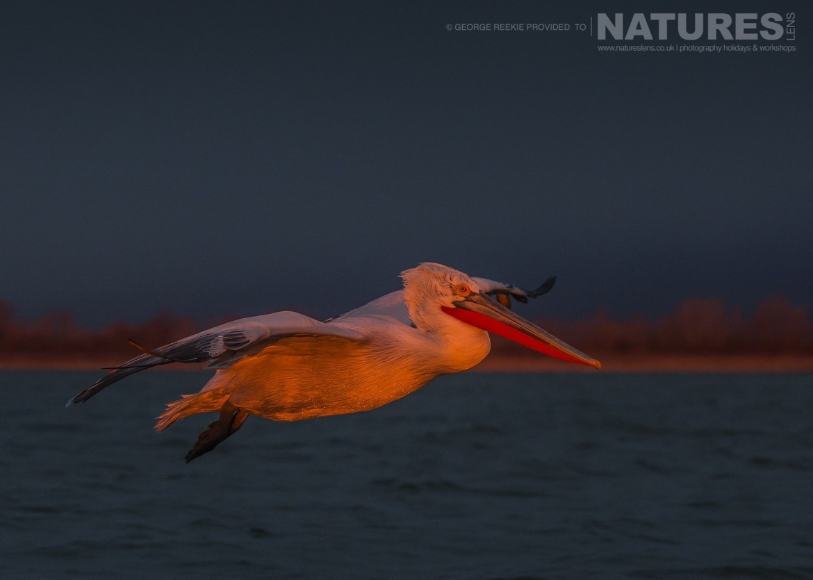 Illuminated by the rising sun, one of the Dalmatian Pelicans flies over the waters of Lake Kerkini photographed during one of the NaturesLens Dalmatian Pelican Photography Holidays