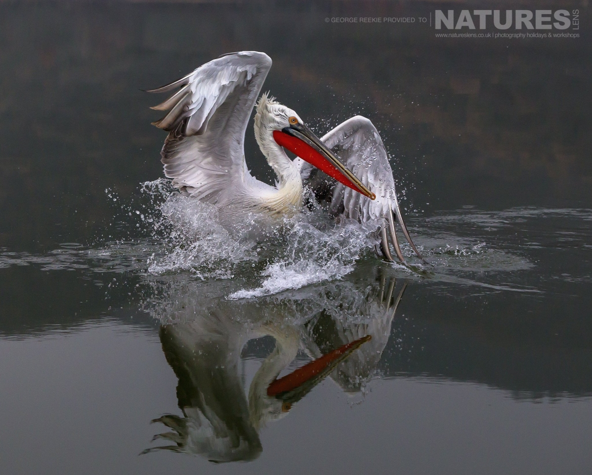 One of Kerkini's Dalmatian Pelicans making quite a splash in the waters of the lake photographed during one of the NaturesLens Dalmatian Pelican Photography Holidays