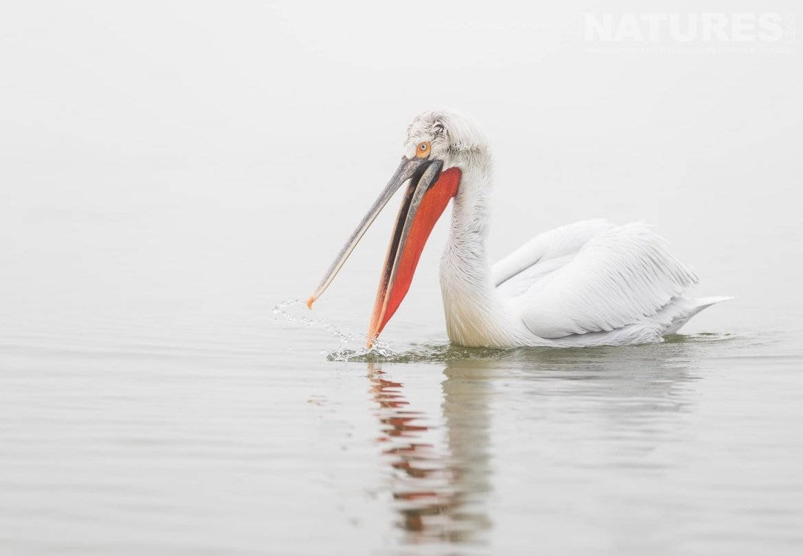 One of the Dalmatian Pelicans drifting on the lake waters photographed during the NaturesLens Dalmatian Pelican Photography Holiday