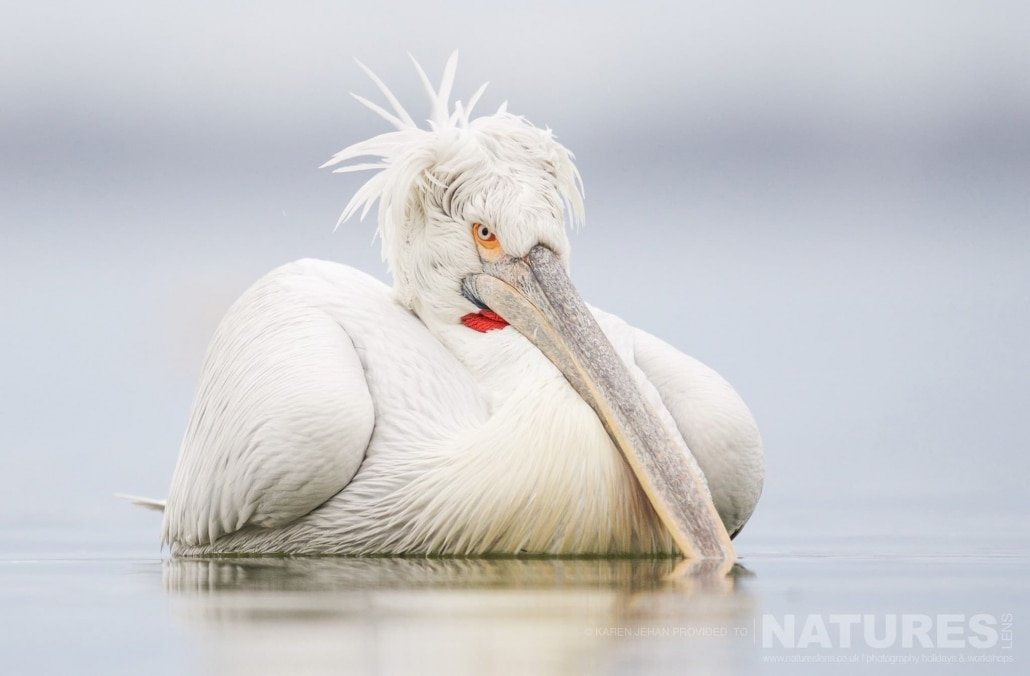 One of the Dalmatian Pelicans drifts gently on the waters of Lake Kerkini photographed during one of the NaturesLens Photography Holidays for photography of the Pelicans of Lake Kerkini