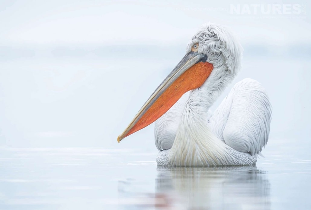 One of the Dalmatian Pelicans glides on the still waters photographed during one of the NaturesLens Photography Holidays for photography of the Pelicans of Lake Kerkini