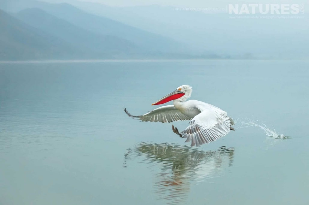 One of the Dalmatian Pelicans lands on the waters of Lake Kerkini photographed during one of the NaturesLens Photography Holidays for photography of the Pelicans of Lake Kerkini jpg