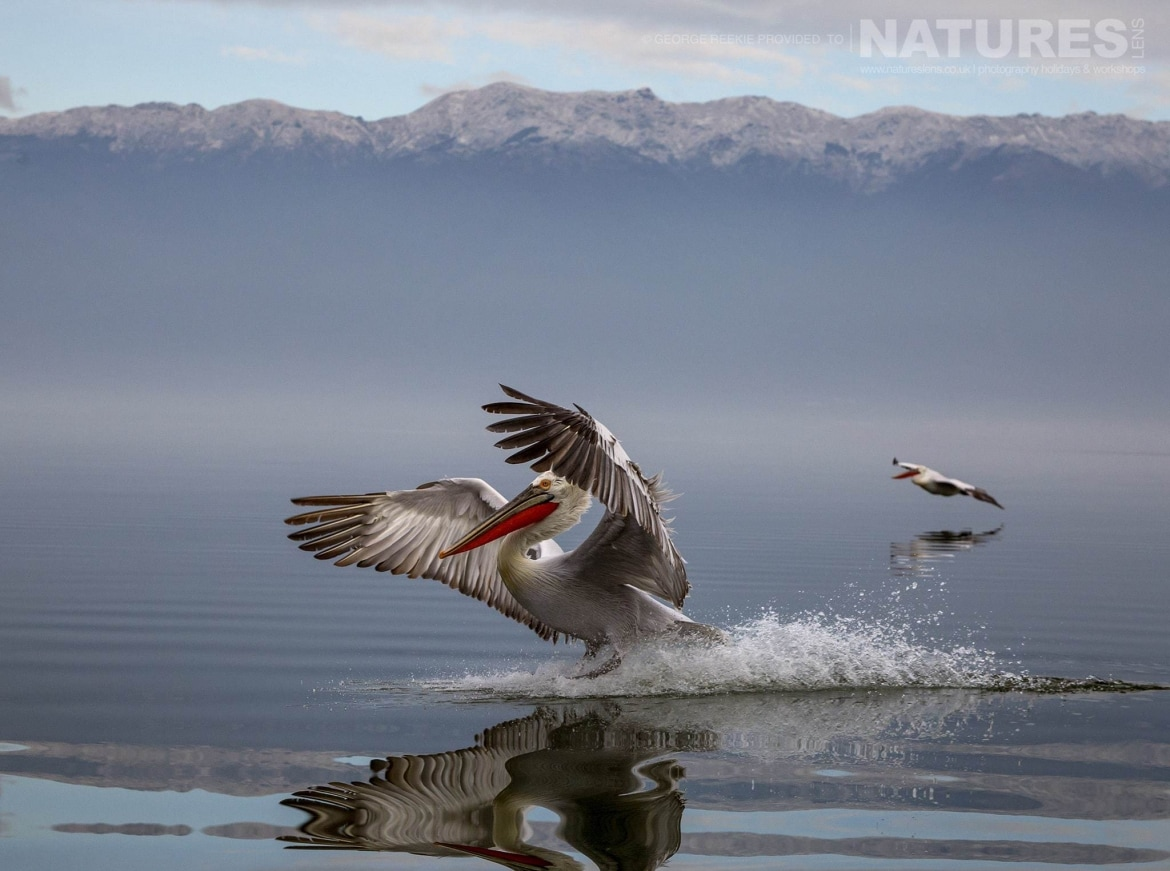 One of the Dalmatian Pelicans making quite a splash as it lands on the waters of Lake Kerkini photographed during one of the NaturesLens Dalmatian Pelican Photography Holidays