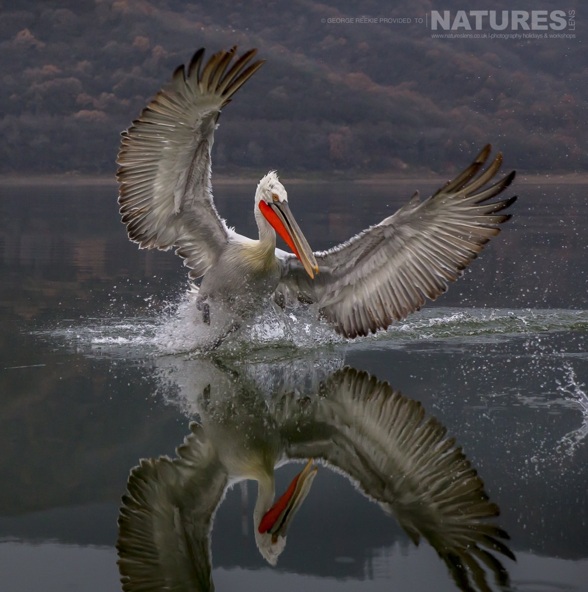 One of the Dalmatian Pelicans making quite a splash in the waters of Lake Kerkini photographed during one of the NaturesLens Dalmatian Pelican Photography Holidays