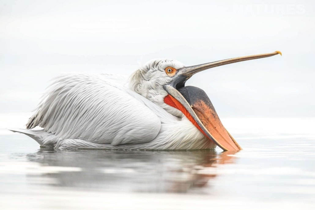 One of the Dalmatian Pelicans mouth wide open photographed during one of the NaturesLens Photography Holidays for photography of the Pelicans of Lake Kerkini