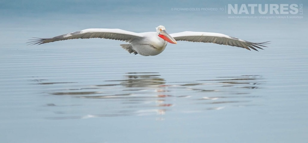 One of the Dalmatian Pelicans skims the still waters of the lake photographed during one of the NaturesLens Photography Holidays for photography of the Pelicans of Lake Kerkini