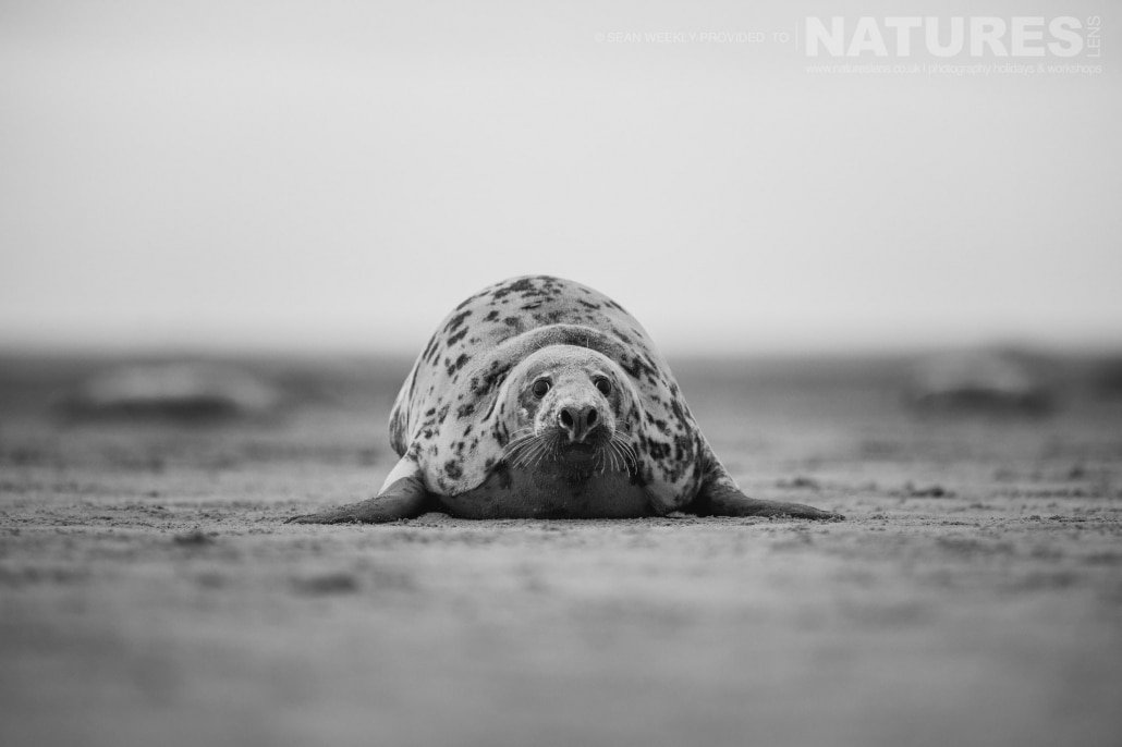 One of the large bull seals rests on the sands of a Lincolnshire beach photographed on the Seals of Lincolnshire Photography Holiday run by NaturesLens