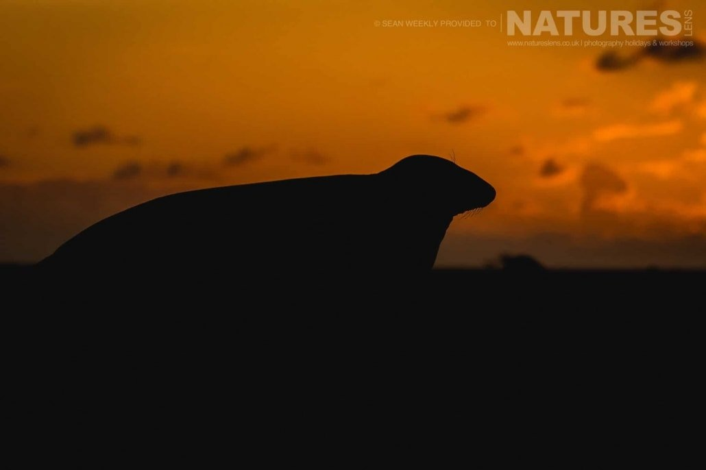 One of the large & pregnant female seals silhouetted against the sunset photographed on the Seals of Lincolnshire Photography Holiday run by NaturesLens