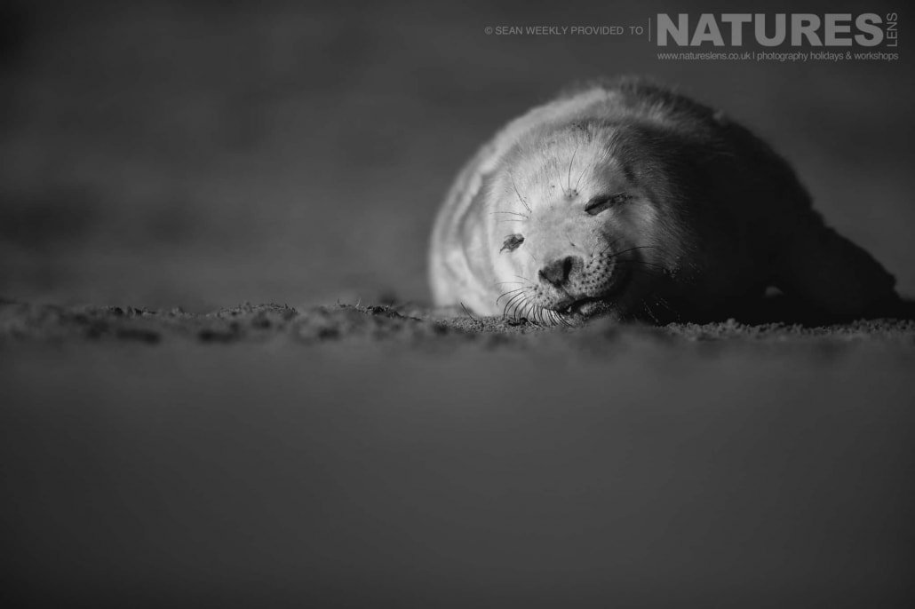 One of the new born seal pups asleep on the beaches of Lincolnshire photographed on the Seals of Lincolnshire Photography Holiday run by NaturesLens