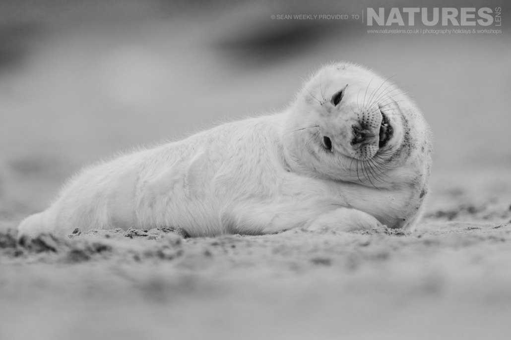 One of the new born seal pups on the beaches of Lincolnshire photographed on the Seals of Lincolnshire Photography Holiday run by NaturesLens