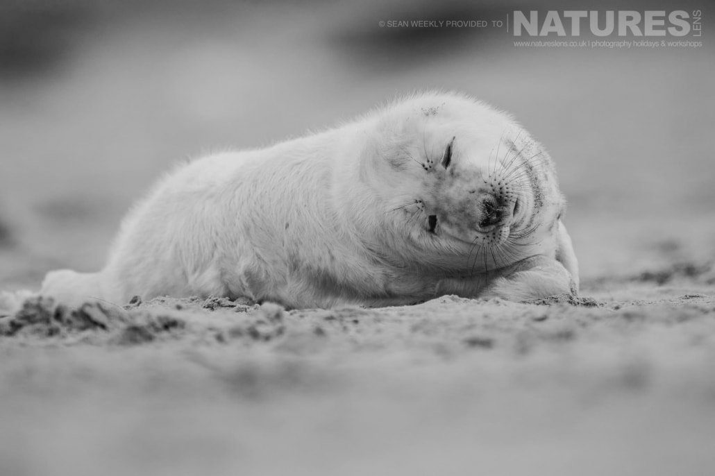 One of the new born seal pups sleeps on the beaches of Lincolnshire photographed on the Seals of Lincolnshire Photography Holiday run by NaturesLens