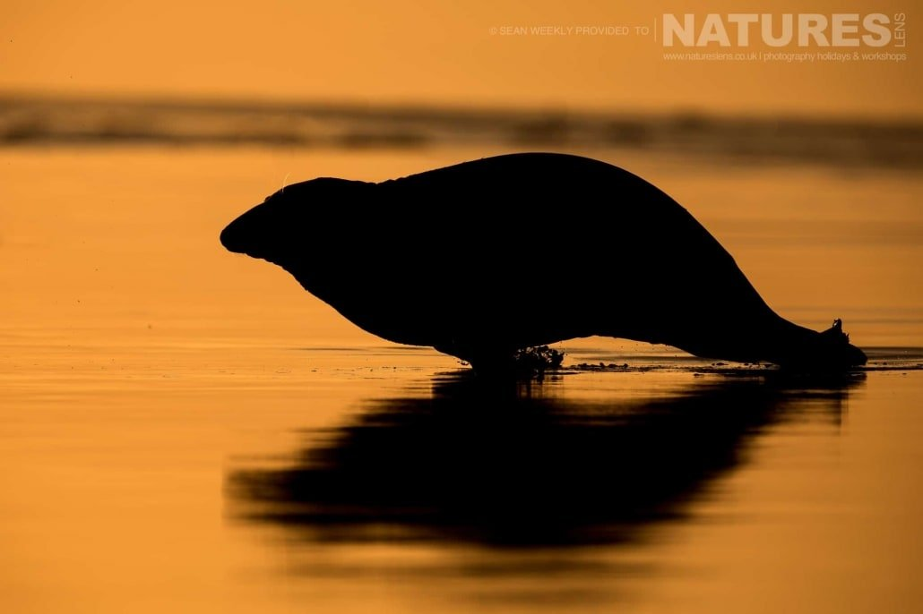 One of the seal moves at speed across the shallow waters at sunrise photographed on the Seals of Lincolnshire Photography Holiday run by NaturesLens