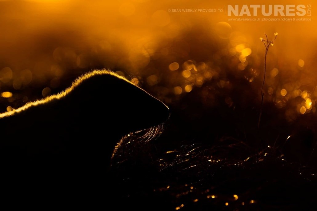 One of the seal pups at sunrise in the dunes photographed on the Seals of Lincolnshire Photography Holiday run by NaturesLens