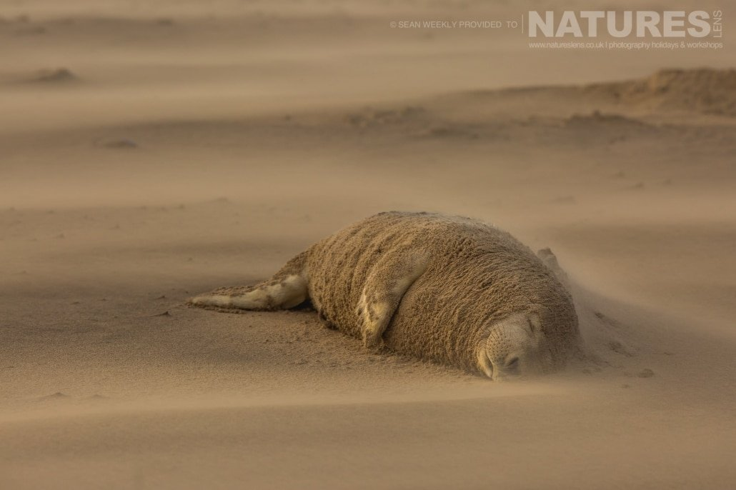 One of the seals has sand building up against him, due to the ferocity of the wind photographed on the Seals of Lincolnshire Photography Holiday run by NaturesLens