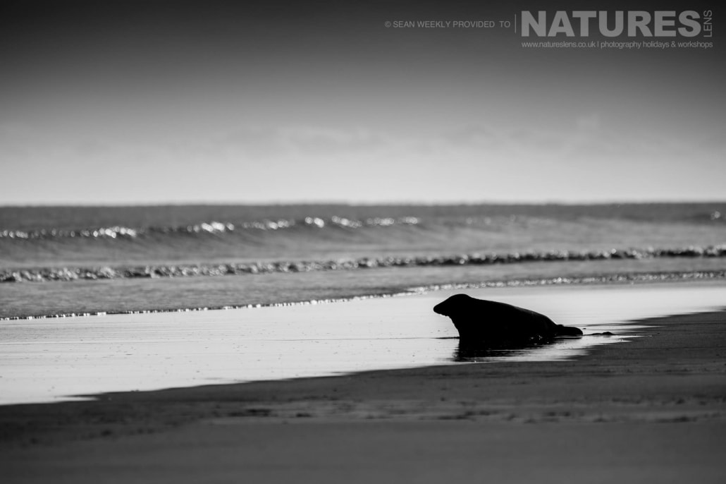 One of the seals heads towards the surf of a Lincolnshire beach photographed on the Seals of Lincolnshire Photography Holiday run by NaturesLens