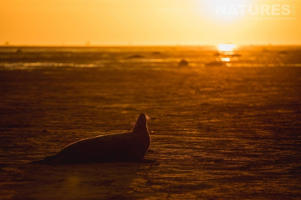 One of the seals of the Lincolnshire beaches warms itself in the first rays of the day photographed on the Seals of Lincolnshire Photography Holiday run by NaturesLens