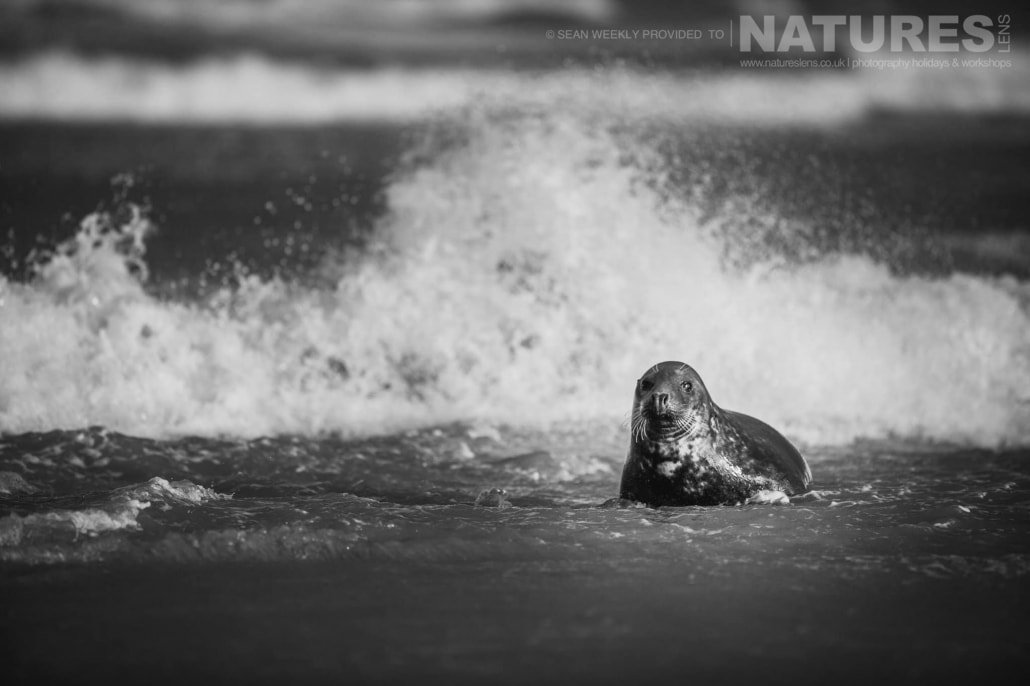 One of the seals plays in the surf of a Lincolnshire beach photographed on the Seals of Lincolnshire Photography Holiday run by NaturesLens