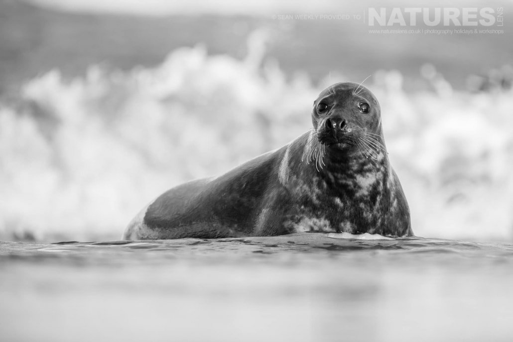 One of the seals rests in the surf of a Lincolnshire beach photographed on the Seals of Lincolnshire Photography Holiday run by NaturesLens