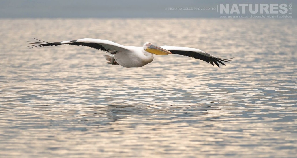 One of the solitary White Pelicans flies over Lake Kerkini photographed during one of the NaturesLens Photography Holidays for photography of the Pelicans of Lake Kerkini