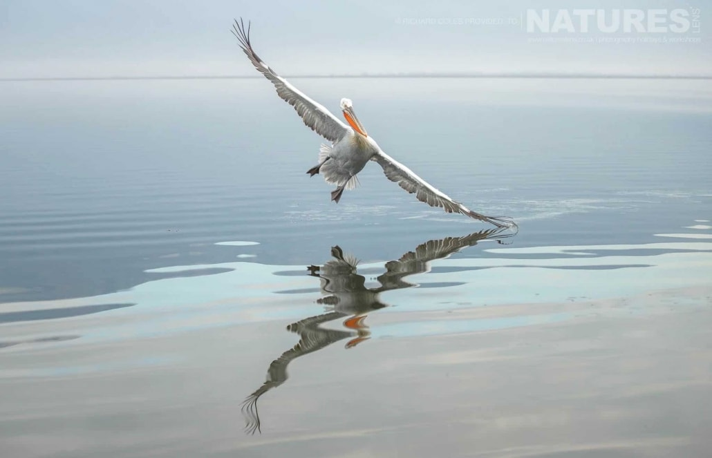 Perfectly reflected, a Dalmatian Pelicans lands on the still waters of Lake Kerkini photographed during one of the NaturesLens Photography Holidays for photography of the Pelicans of Lake Kerkini