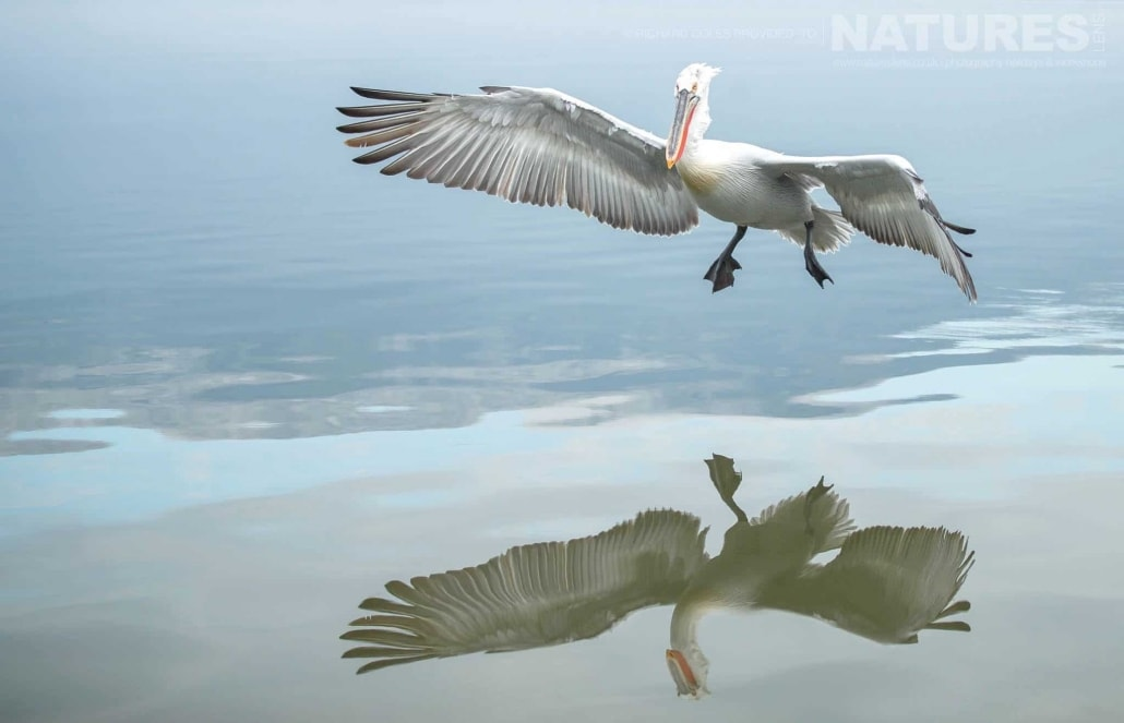 Perfectly reflected, one of the Dalmatian Pelicans attempted to land on Lake Kerkini photographed during one of the NaturesLens Photography Holidays for photography of the Pelicans of Lake Kerkini