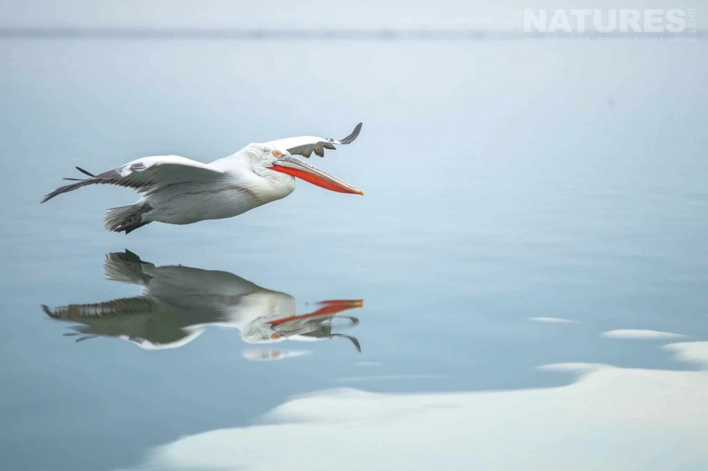 Perfectly reflected, one of the Dalmatian Pelicans glides over Lake Kerkini photographed during one of the NaturesLens Photography Holidays for photography of the Pelicans of Lake Kerkini